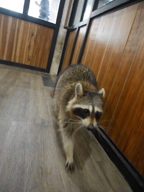 a raccoon at a cafe in Bangkok, Thailand