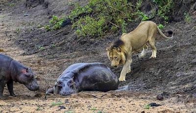 Singa jantan mendekati induk kuda nil