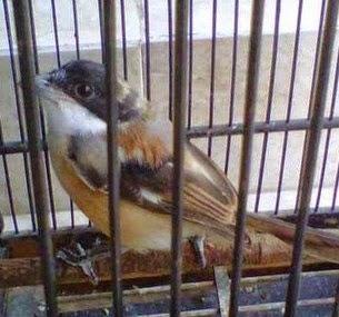 merupakan proses alami yang dialami hampir semua jenis burung kicauan termasuk burung pen Resep Ronggolawe Untuk Mempercepat Mabung Pada Burung Pentet