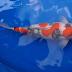 Oscar, Ikan Hias Air Tawar Termahal