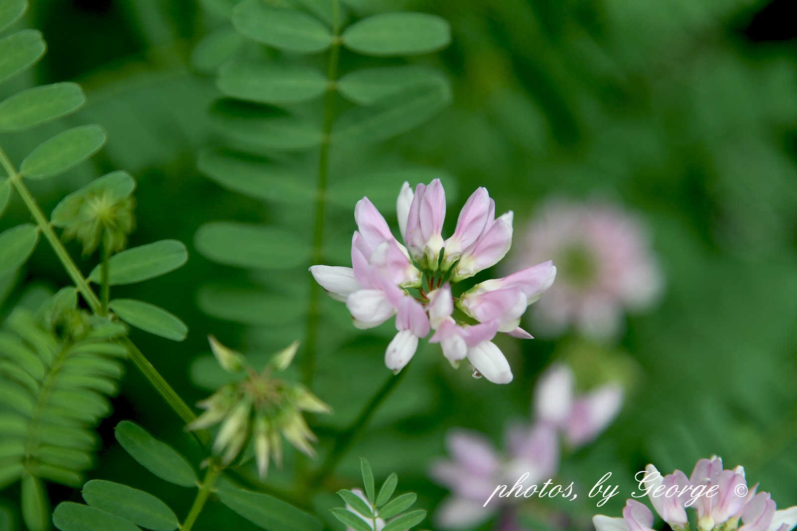 Whats blooming now crown vetch coronilla varia crown vetch coronilla varia izmirmasajfo