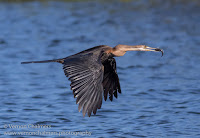 Birds In Flight Photography Cape Town with Canon EOS 7D Mark II