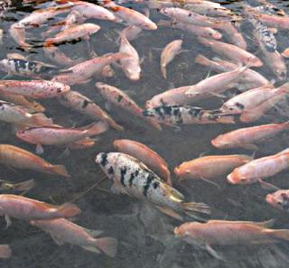 Cara-memelihara-Budidaya-Ikan-Gurame-Di-Kolam-Terpal-Untuk-Pemula