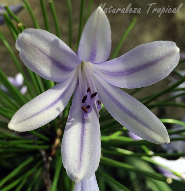 La flor del Lirio Africano, Agapanthus africanus