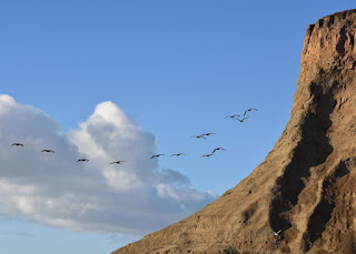 Pelicans swoop around a cliff at Mavericks Beach, Princeton-by-the-Sea, California.