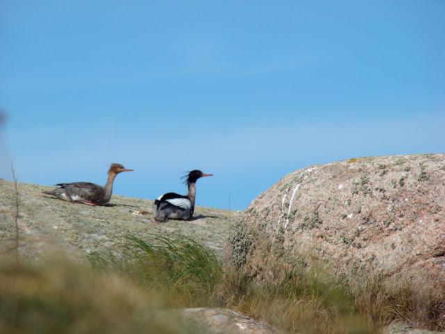 Utklippan - ptaki
