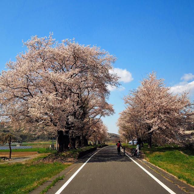 つくばりんりんロード 雨引駅跡 桜