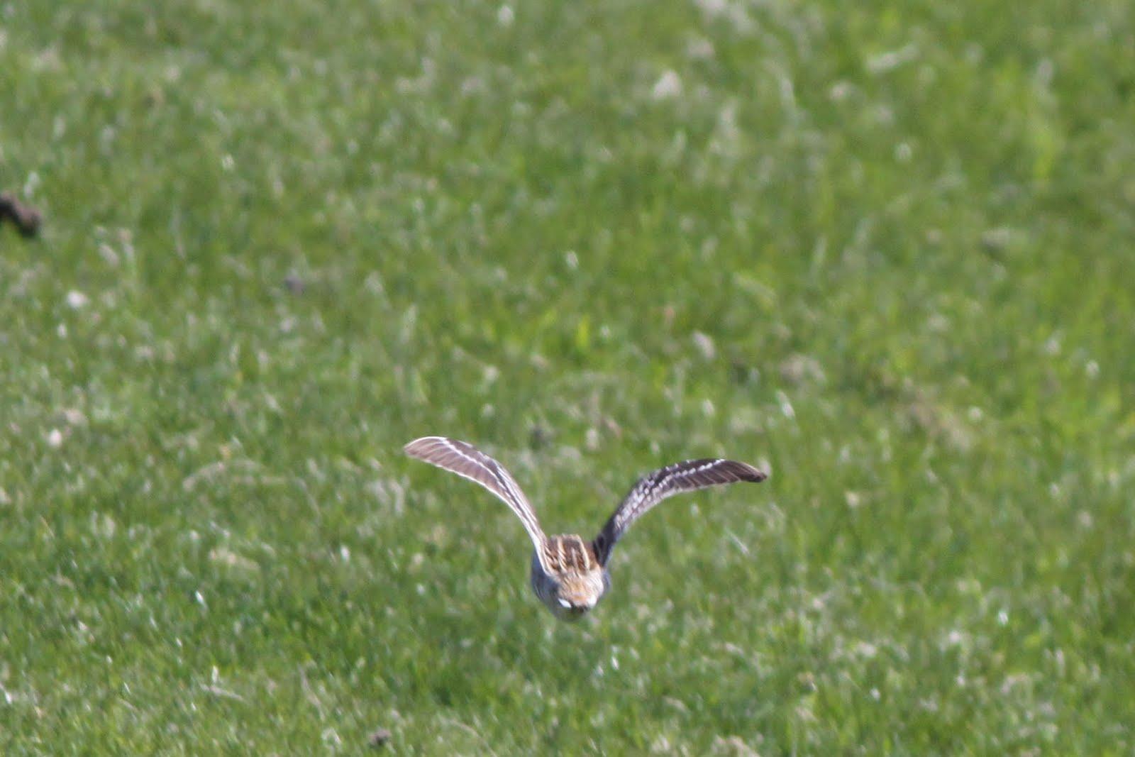 Snipe bird flying