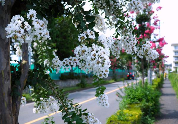 道に咲くサルスベリ