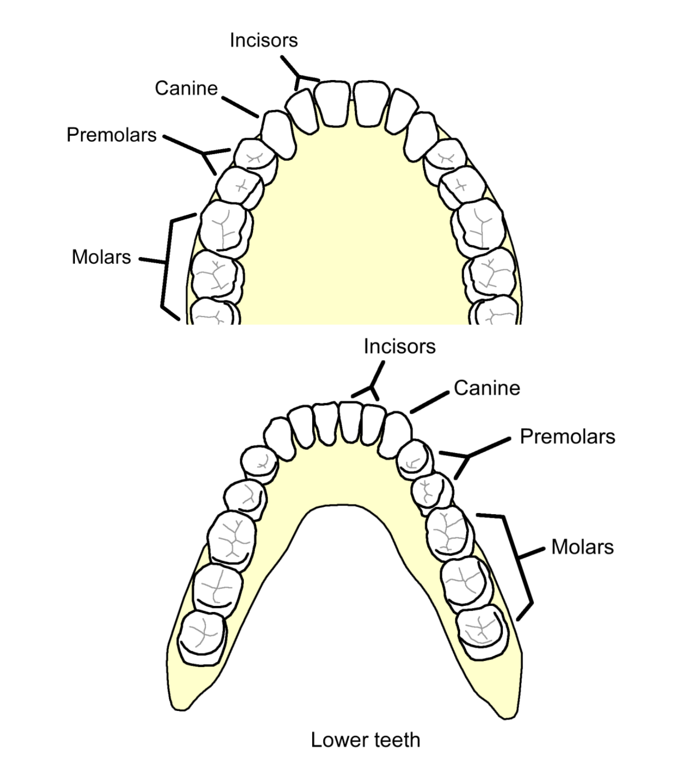 small resolution of our last permanent teeth referred to as our wisdom teeth usually emerge when we are 17 to 25 years old we have four kinds of adult teeth incisors
