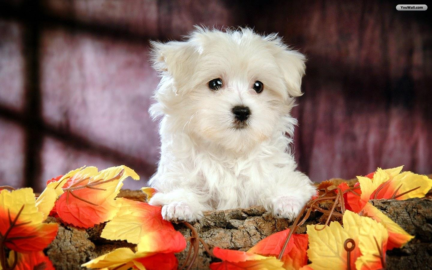 Puppies And Fall Wallpaper Funny Animals Zone Cute White Dogs