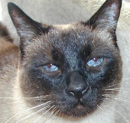 ¿Cómo los gatitos contraen infecciones oculares?