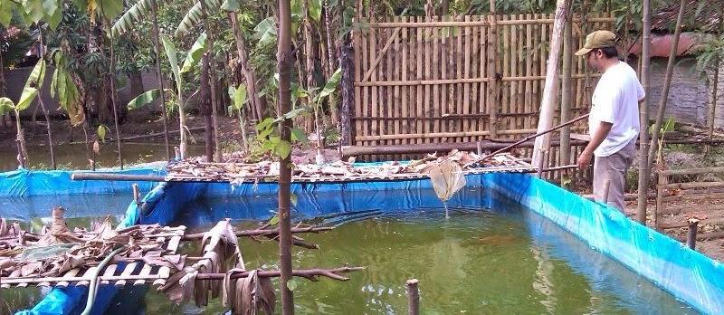 Cara Ternak Lele di Kolam Terpal Agar Hasil Bagus