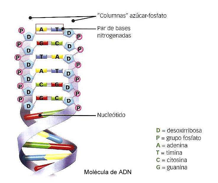 Biolog a 3 secundaria el adn como la mol cula portadora for Que significa molecula