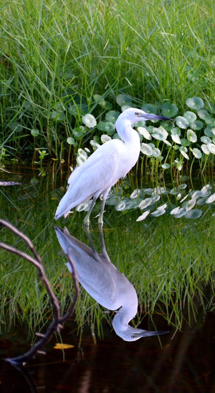 Picture of a white egret reflection.