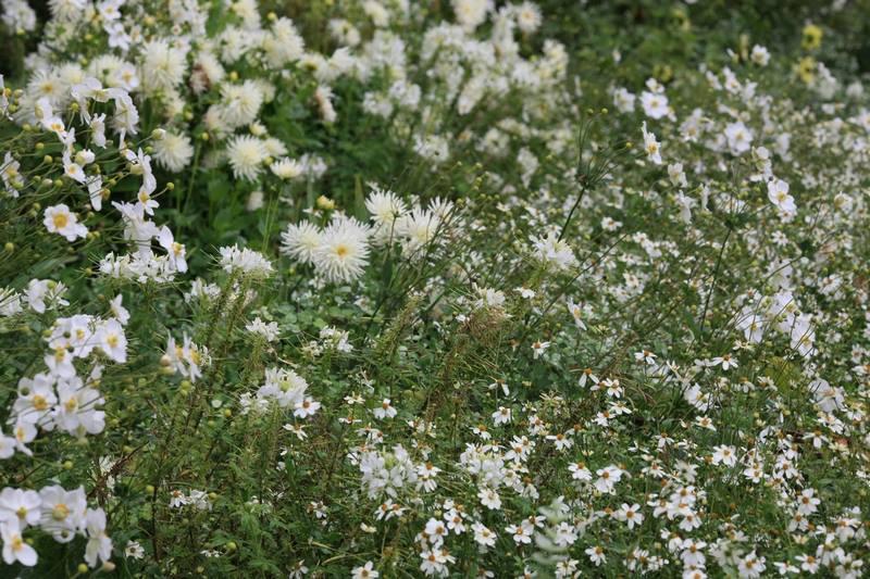 Flores blancas de dalias (Dahlia) y anémonas (Anemone)