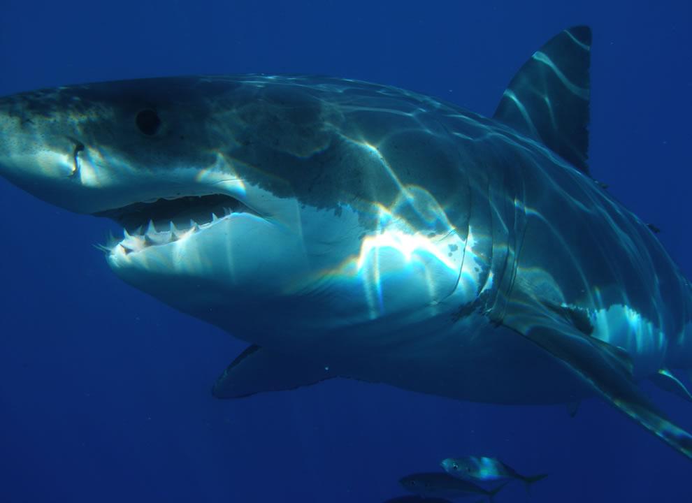 اسماك القرش تحت الماء Upclose-and-personal
