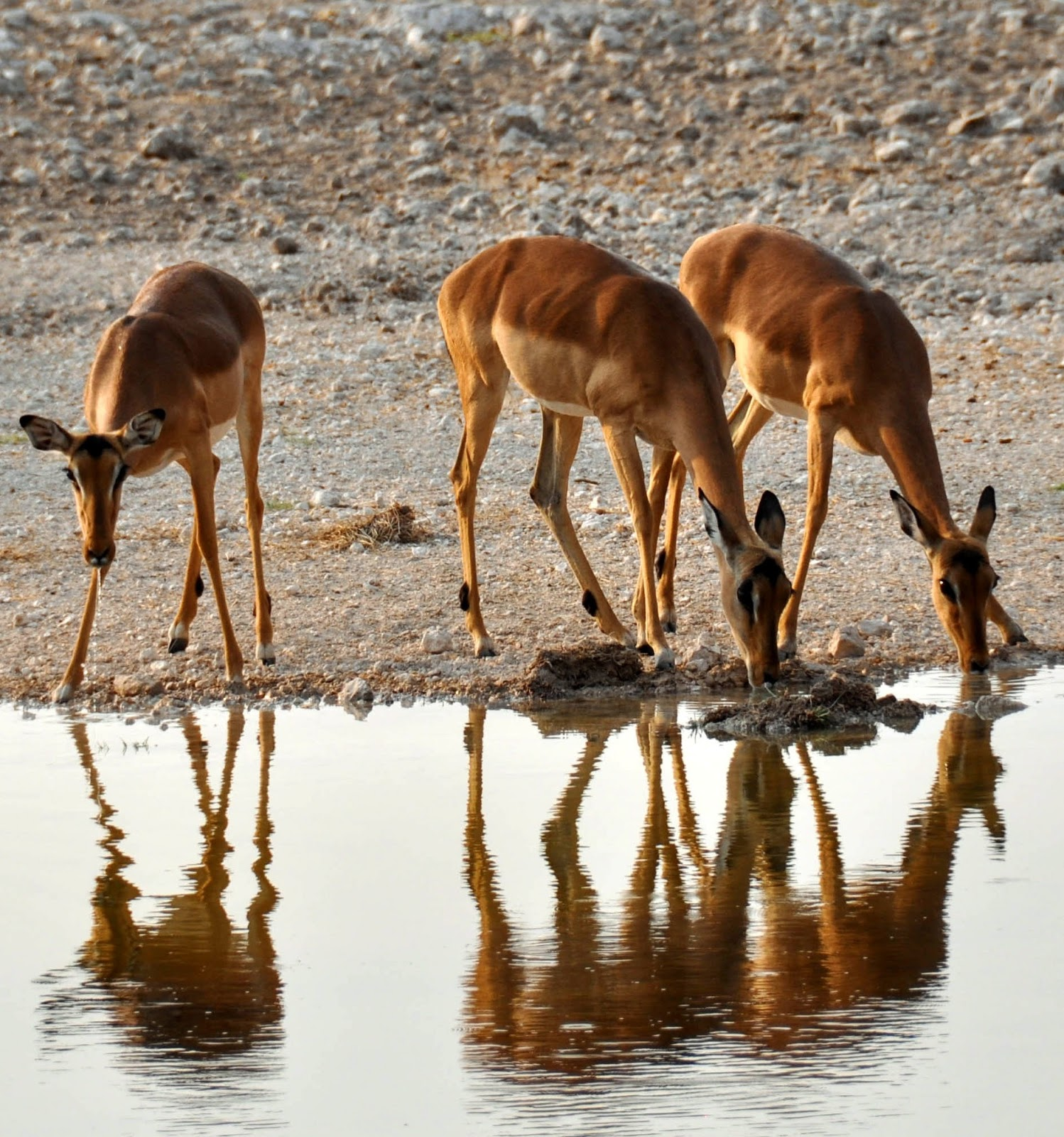 Photo of three female impala's drinking water.