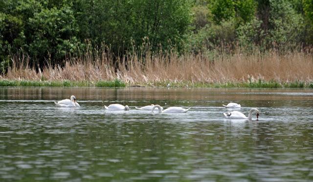 Лебеди на реке Миасс