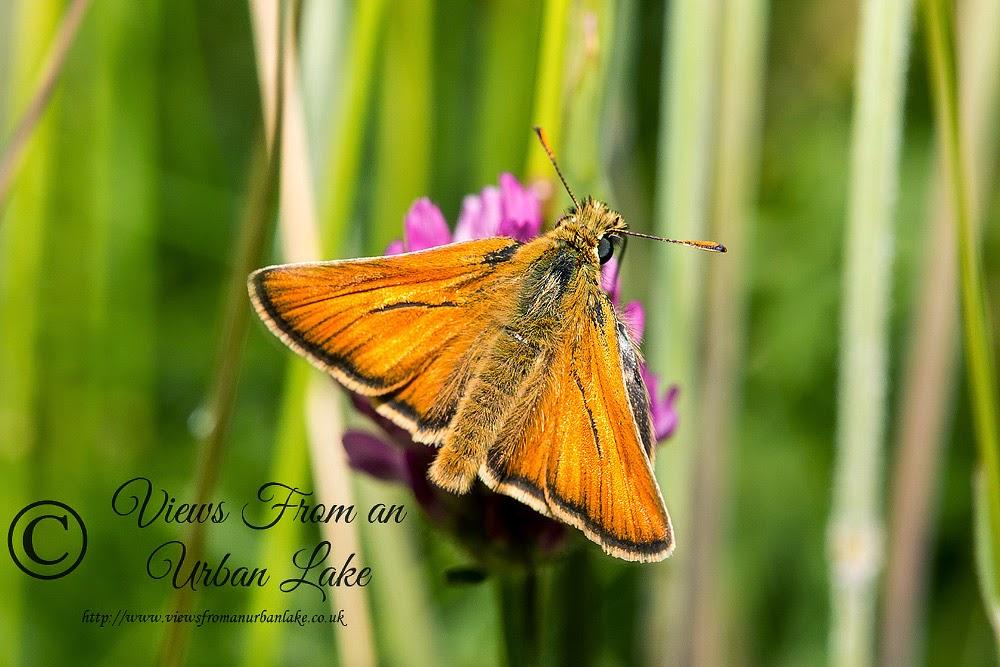 Small Skipper - Loughton Valley Park, Milton Keynes