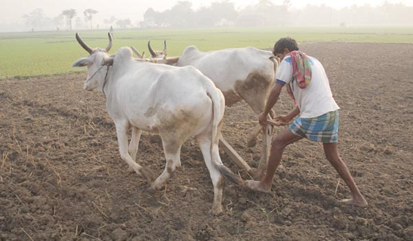 kisan-ploughing-in-the-field