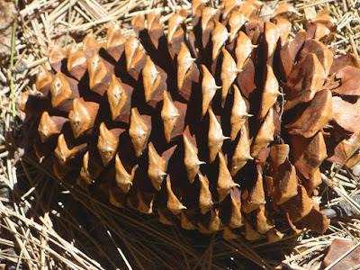 Jeffrey pine cone