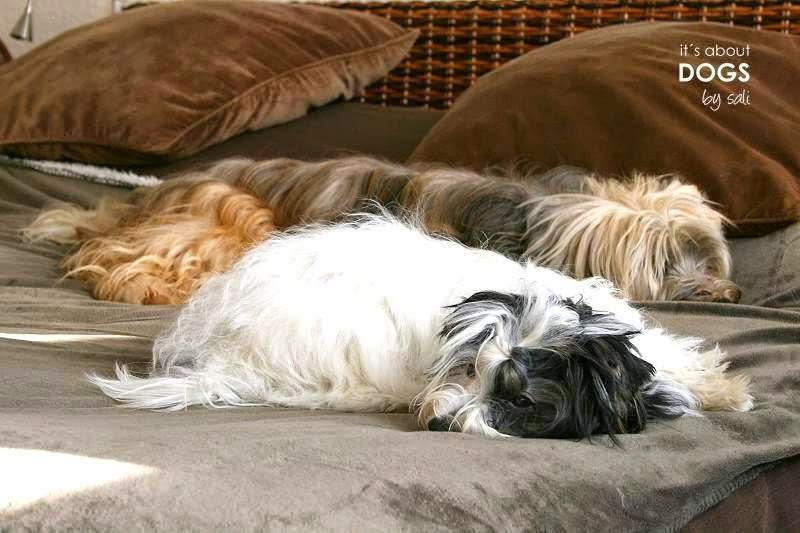 Biewer Yorkshire Terrier Lotta mit Tibet Terrier Chiru liegen gemeinsam auf dem Bett.