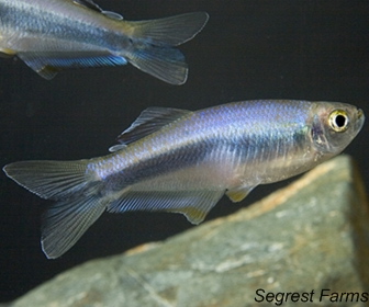 Blue Tetra Fish, Mimagoniates microlepis