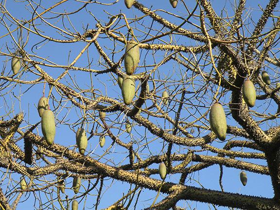 treeaware: Silk Floss Tree