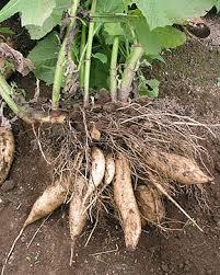 Poire de terre cochet après récolte