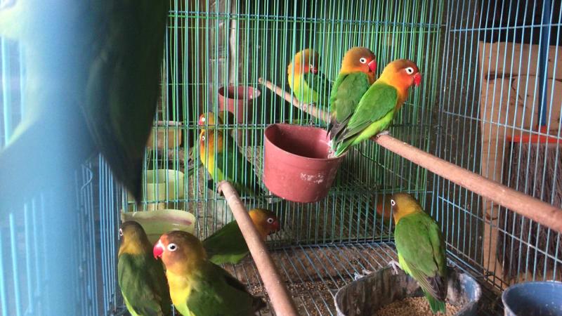 Setelan Lovebird Dengan Metode Koloni Atau Untulan Lensa Lovebird