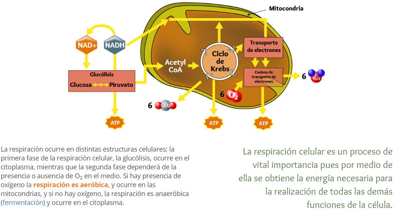Metabolismo basal fórmula