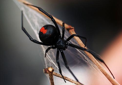 العناكب السامة