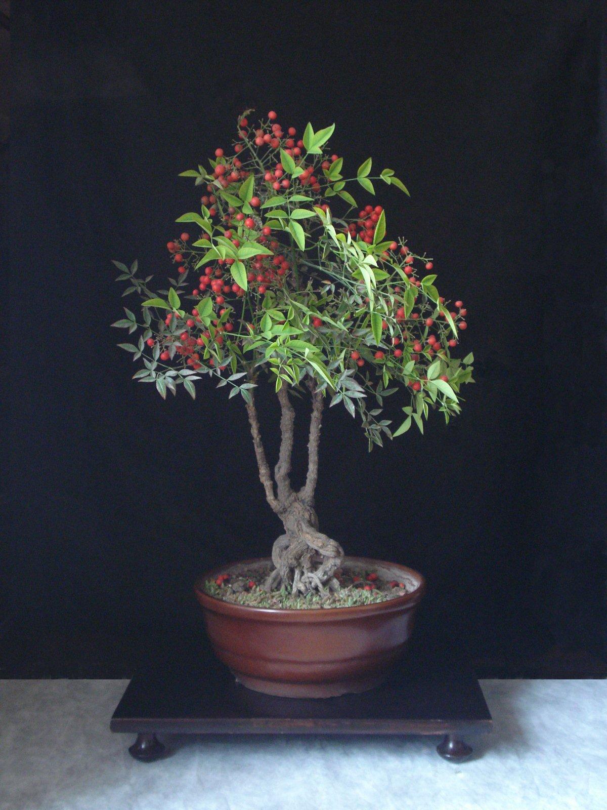 Bonsai Tree 17 Excellent Nandina Bonsai Images