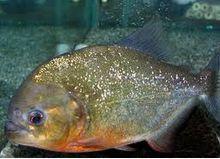Cara Merawat Ikan Piranha Neveriensis Di Akuarium