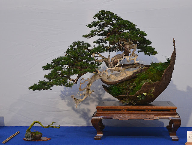 Crescent Juniper Bonsai