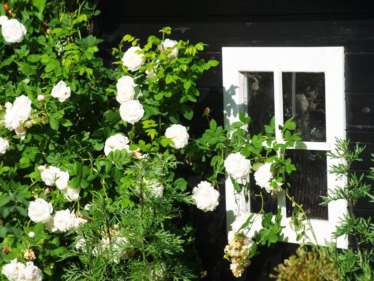 Sort legehus omhyldet af hvide roser der dufter og giver børnenes hus en særlig romantisk sommerstemning