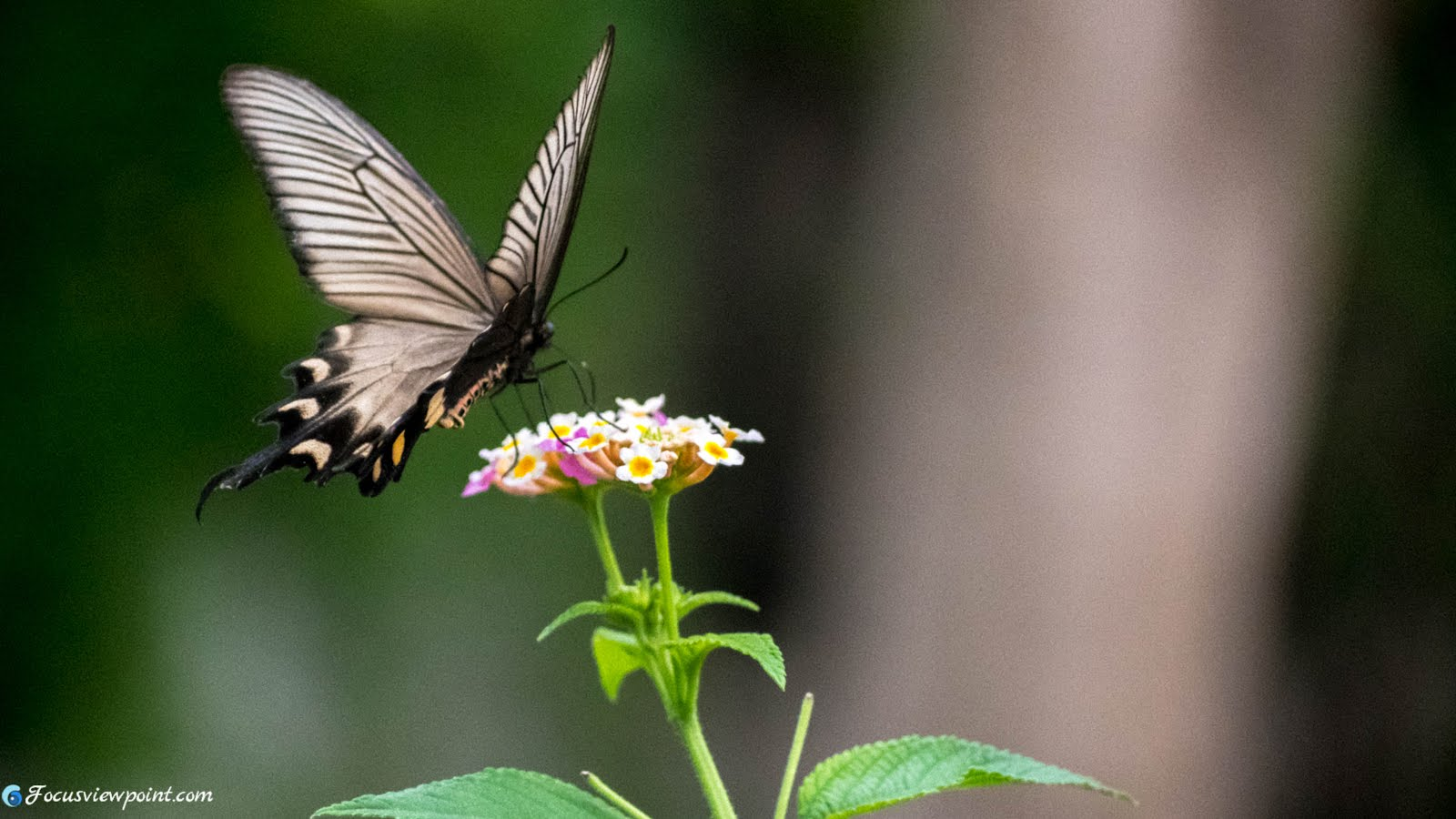 Papilio helenus, the red Helen : Black Butterfly