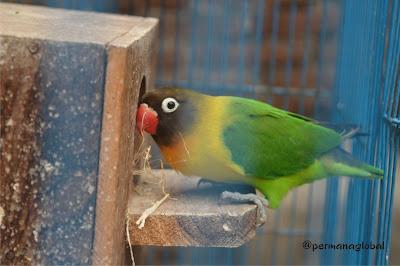 Cantiknya Si Love Bird