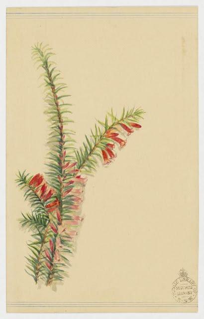 Christmas Card design depicting Australian native red flowers.