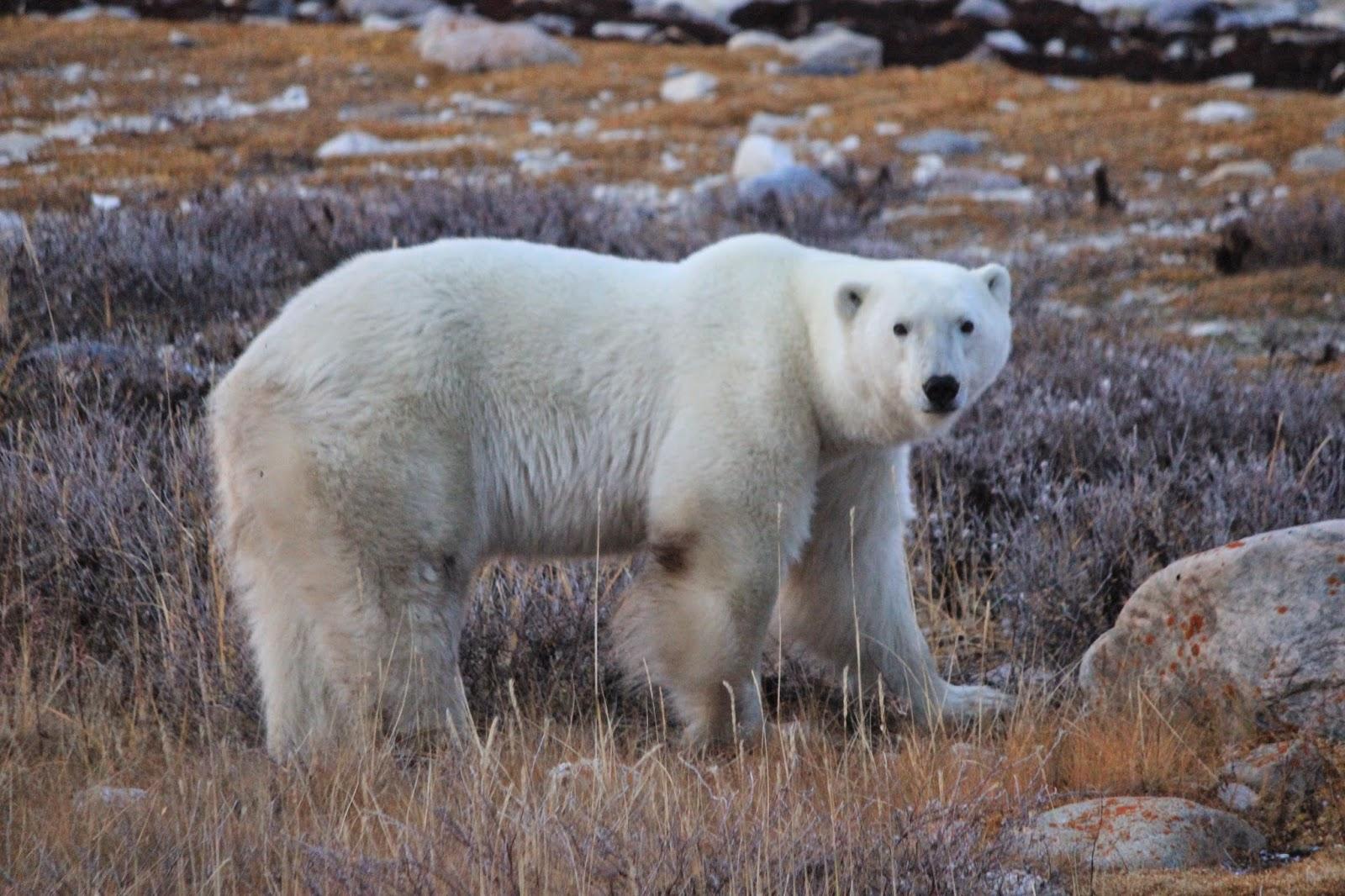 International Polar Bear Day - Polar Bear Facts