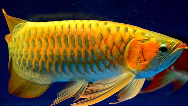 Dunia Ikan Hias - Arwana