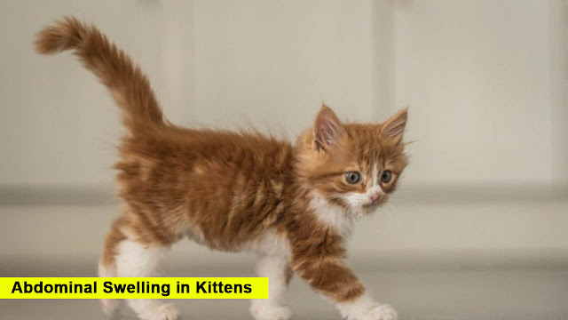 Abdominal Swelling in Kittens