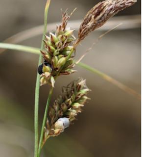 Kajian Filogeni Dan Morfologi Dua Spesies Baru Anthracoidea Caricis-Meadii Dan Anthracoidea Pamiroalaica