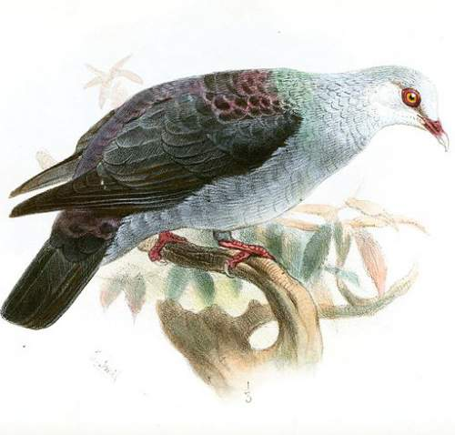 Birds of India - Image of Andaman wood pigeon - Columba palumboides