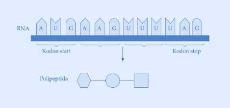 Pembahasan soal ujian nasional sintesis protein pembahasan soal ujian nasion al sintesis protein ccuart Images