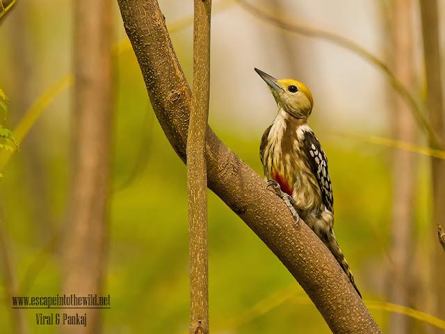 Mahratta Woodpecker