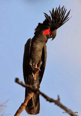 Cacatúa enlutada: Probosciger aterrimus