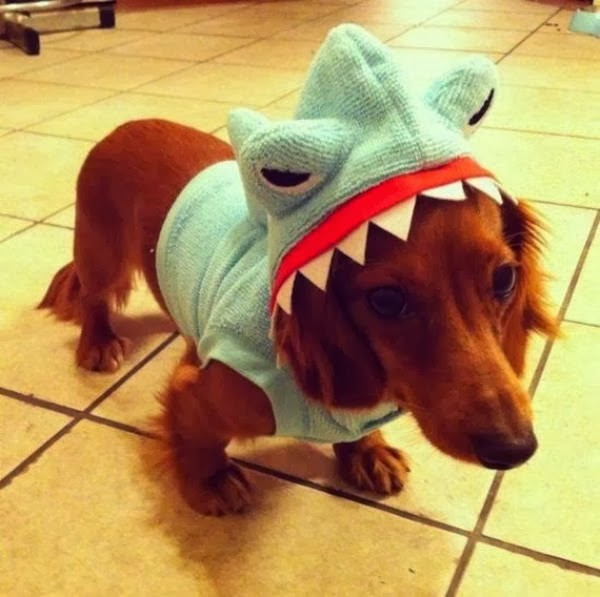 Cute dogs - part 9 (50 pics), cute little dog wears shark costume