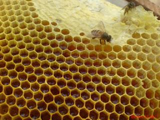 cara beternak lebah madu